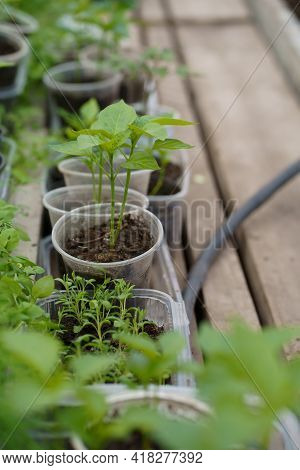 Pepper Seedlings In A Greenhouse, Greenhouse With Bell Pepper, Pepper Seedlings In The Soil Close-up
