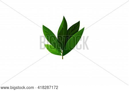 Bay Leaf Green Vector Illustration Isolated On White Background