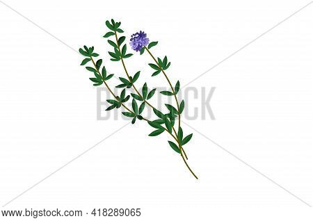 Thyme Herb Leaf Green Vector Illustration Isolated On White Background