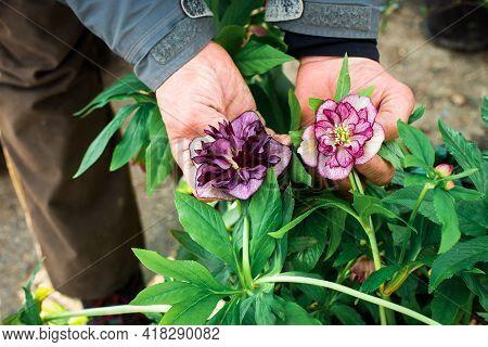 Helleborus Double Ellen Bloom. A Rare Black Hellebore Grows In The Garden. Male Hands Are Holding Bu