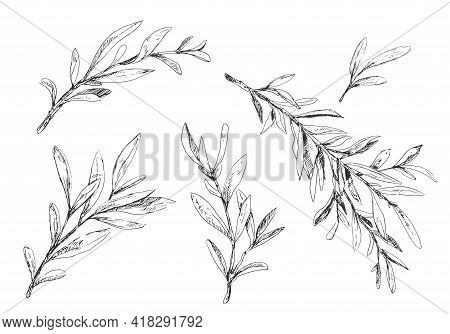 Olive Tree Branches Without Berries Sketche Illustration In Vintage Style On White Background