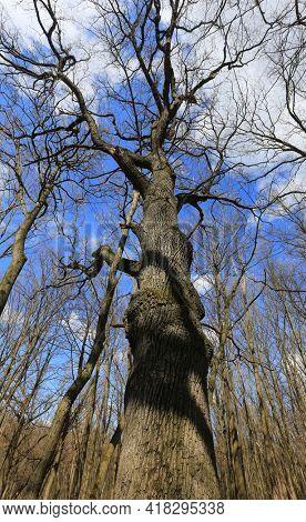 big old oak tree in leafless spring forest on sky background