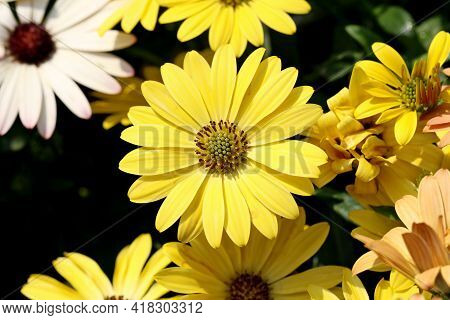 African Daisy Daisy Flowers Osteospermum. High Quality Photo