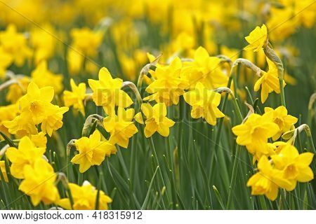 Beautiful Vernal Yellow Daffodils Flower Field In The Sunlight. Suitable Photo For Spring Background