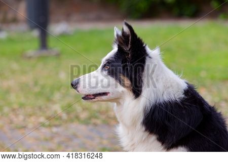 Beautiful dog with different eye colors in a park