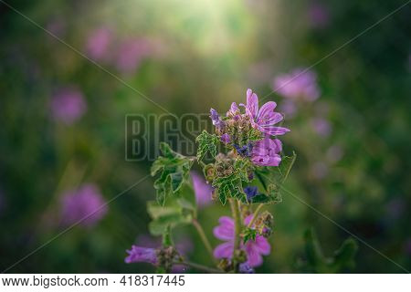 Beautiful Wild Purple Wild Mallow Flower On Green Meadow On Spring Day In Close-up