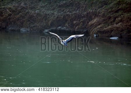 Majestic Long Legged And Long Necked Freshwater Coastal Heron Bird With Soft Broad And Long Wings Co