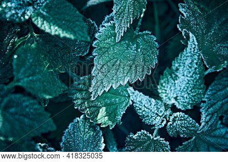 Green plant with hoarfrost. Nature background. Close-up