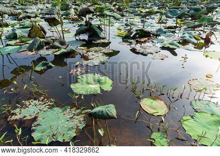 Lotus Leaves , Lotus Field Is Drought In Summer Season.