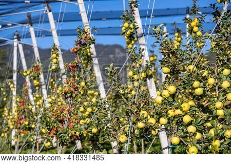 Apple orchard in Aica, South Tyrol, Italy