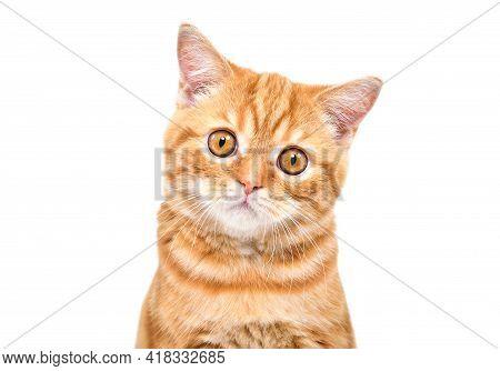 Portrait Of Cute Loving Ginger Kitten Scottish Straight, Closeup, Isolated On White Background