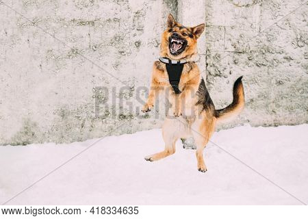Training Of Purebred German Shepherd Dog In Special Outfit. Alsatian Wolf Dog Jumping During Exercis