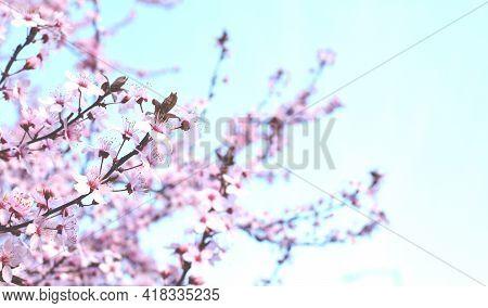 Beautiful Blooming Trees With Pink Sakura Flowers In Spring. Sakura Blossom (sakura Hanami). Copy Sp