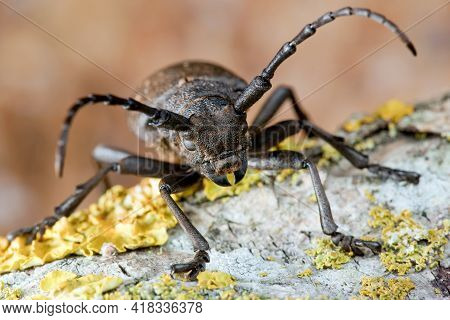 Brown Weaver Beetle Climbs On The Bark Of A Mossed Tree With Yellow Lichens