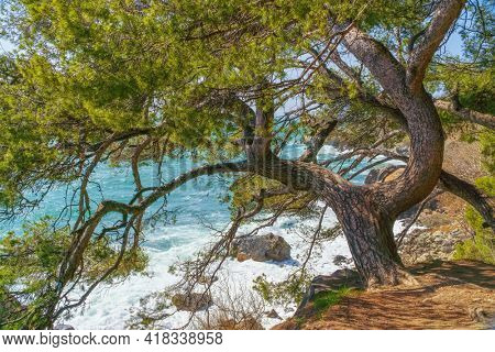 Natural landscape of spurce and sea on the edge at day.