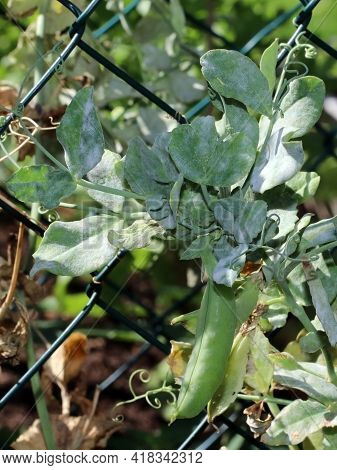 Fungal Plant Disease Powdery Mildew On A Green Pea Leaves. Infected Plant Displays White Powdery Pla