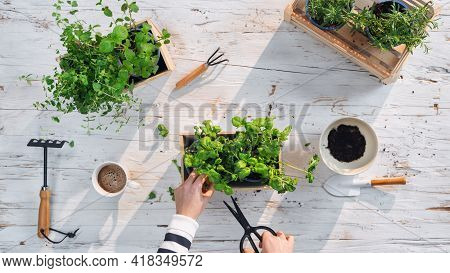 Top View Of Unrecognizable Woman Growing And Using Herbs At Home, Sustainable Lifestyle.
