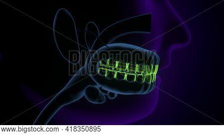 Human Respiratory System Larynx And Pharynx Anatomy. 3d Illustration
