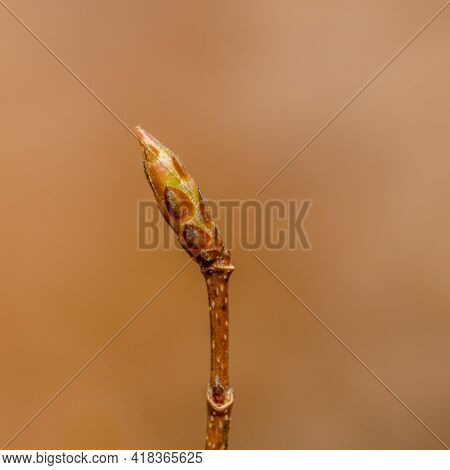 Macro Close Up Of A Sugar Maple (acer Saccharum) Bud In Spring Getting Ready To Blossom. Selective F