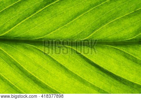 Green Leaf Veins Texture. Shiny Bright Natural Enviroment Pattern. Vibrant Color Lines Background. B