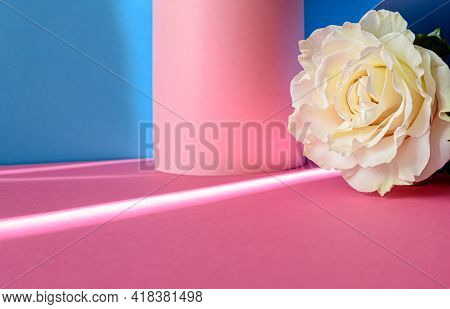 Bright Pink And Blue Colorful Background With White Rose. Minimalistic Summer Concept
