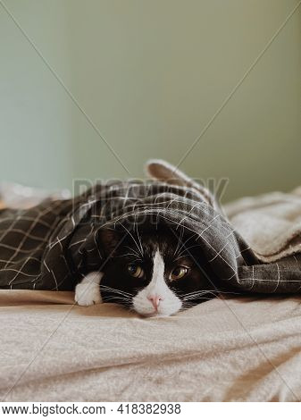 Portrait Of A Black Cat With A White Nose Lying Under A Striped Blanket. Animal Portrait