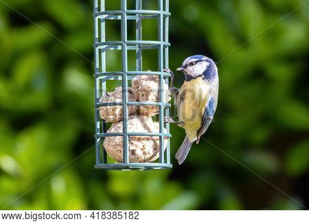 Eurasian blue tit, cyanistes caeruleus, feeding from fat balls in a hanging garden feeder. Green foliage background with space for text.
