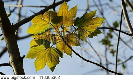 Leaves In Spring From A Brunch Or Stem
