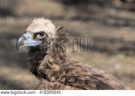 The Griffon Vulture Close Up Head Shot Very Close Up Showing Feather And Beak Details. Scavengers In