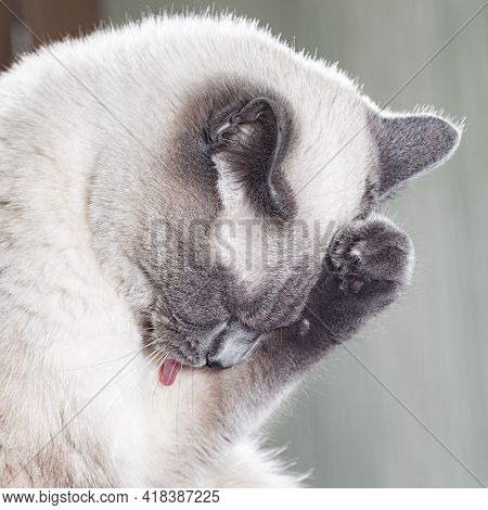 Portrait Of A Thai Cat, Which Is Funny Pressed Paw To Chest While Washing. The Cat's Pose Is Like An
