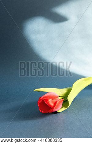 Bright Red Tulip With Green Leaves And Hard Abstract Shadow On Dark Blue Gray Paper. Seasonal Backgr