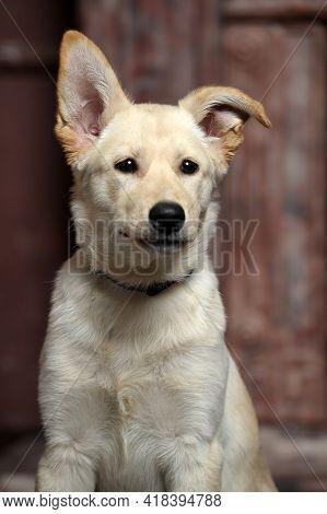 Cute Funny Light Beige Puppy Pooch In The Studio