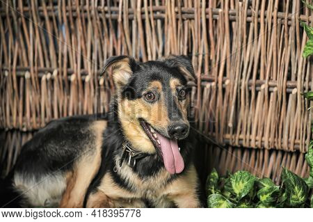 Black And Brown Happy Pooch Dog On A Background Of Wicker Fence