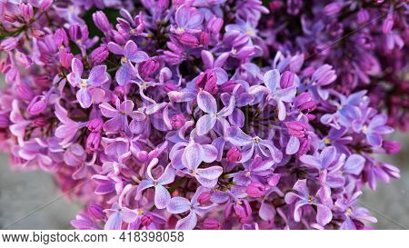 Tender Purple Lilac Syringa Vulgaris Flowers Closeup As Background. Spring Lilac Blossom. Bright Pur
