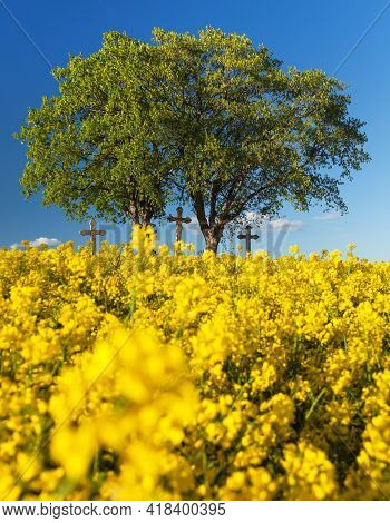 Rapeseed, Canola Or Colza In Latin Brassica Napus, Rape Seed Is Plant For Green Energy And Oil Indus