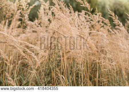 Bushgrass Calamagrostis Epigejos Grass Dried Inflorescence In Field