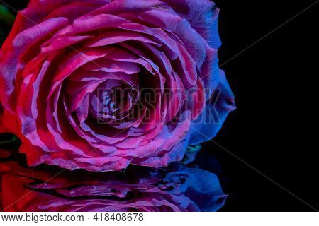 Beautiful Exquisite Red Rose Rose On A Thin Stem On A Black Background. Dark Background. Low Key Sho