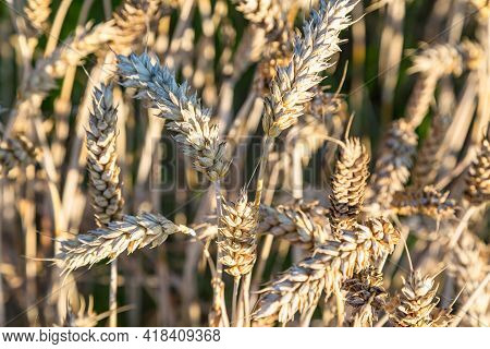 Close Up Of Ripe Wheat With Sun Rays