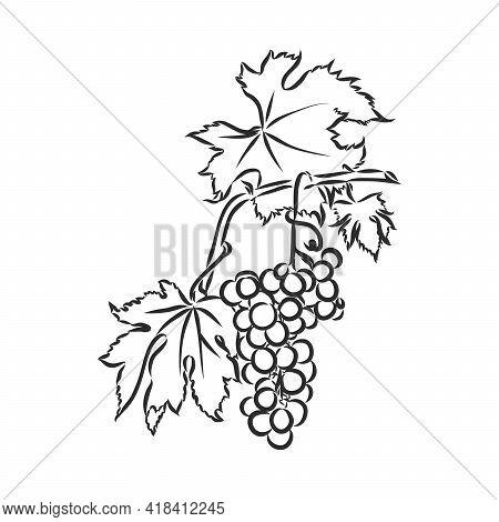 Grape Vine Illustration. Grapes, Vector Sketch Illustration