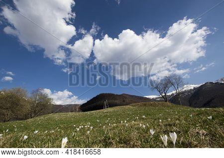 White Flower Of Spring Crocus Over Alpine Field