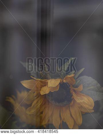 Sunflower Behind The Window Glass With Blurred Dark Background. Flowers On Window Sill. Showcase Thr