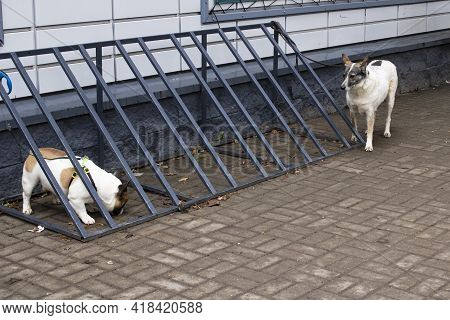 Two Dogs Are Tied To The Store Close Up