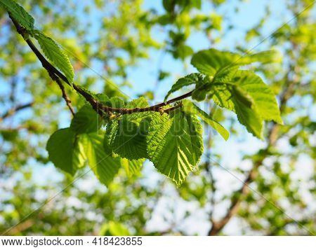Branch Of Hazel. Spring Growth Of New Buds And Leaves. Hazel Tree. Young Greens In The Garden