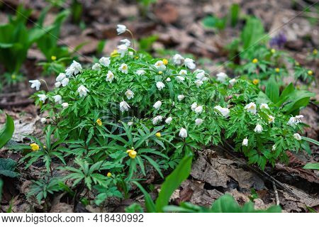 Wood Anemones Flowering In The Forest - Anemone Nemorosa