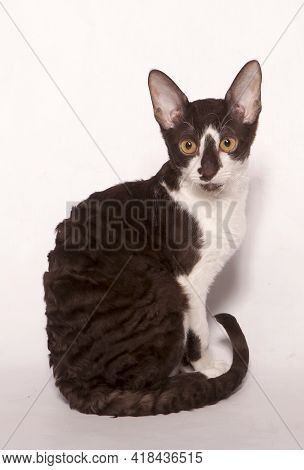 A Funny Curious Young White And Brown Devon Rex Kitten Sitting Short-haired Cat Of English Breed. Is