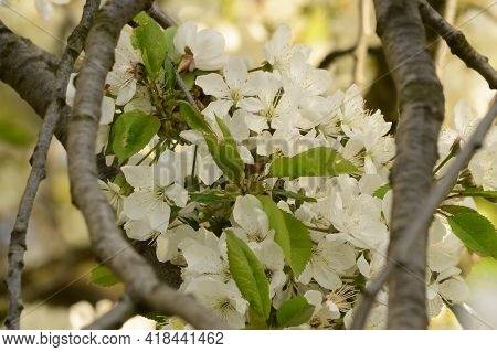 Tree Blossoms The Very Nice White Spring Flower Close Up