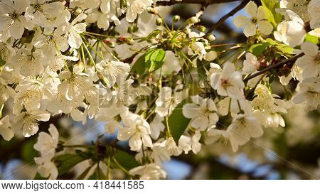 Tree Blkossoms The Nice White Spring Flower Close Up