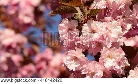 Japanese Cherry The Very Nice Pink Sprii Ng Flower Close Up