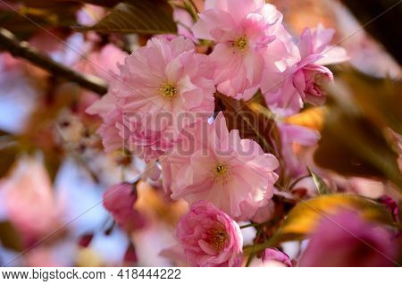 Japanese Cherry Blossomsthe Very Nice Pink Spring Flowers Close Up