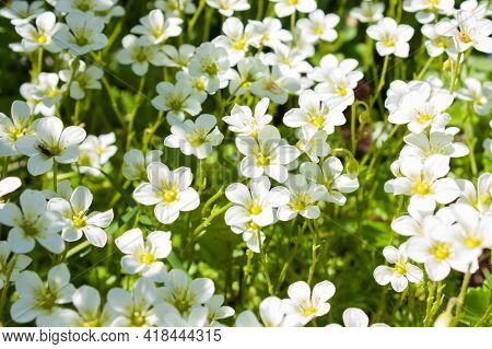 White Saxifrage Mossy Flowers In Spring Garden, Selective Focus